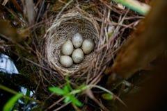 尖头畸型schoenobaenus 薹鸣鸟的巢在nat的 免版税图库摄影