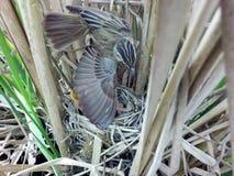 尖头畸型schoenobaenus 薹鸣鸟的巢在nat的 库存照片