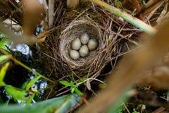 尖头畸型schoenobaenus 薹鸣鸟的巢在nat的 库存图片