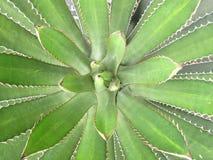 尖锐的龙舌兰植物叶子 库存图片