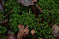 尖刻的青苔和叶子在森林地板上 库存图片