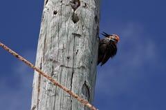 尤加坦啄木鸟Melanerpes pygmaeus 免版税库存照片