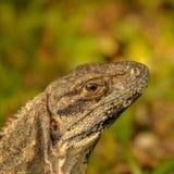 尤加坦鬣鳞蜥的顶头特写镜头在墨西哥 免版税图库摄影