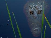 尤加坦鳄鱼 免版税库存图片