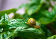 尺侧皮的树丛蜗牛Wihtout大蒜任何接触  免版税库存图片