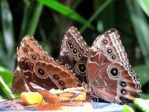 尼亚加拉共同的Morpho蝴蝶2016年 库存图片