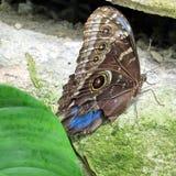 尼亚加拉共同的Morpho蝴蝶2016年 免版税库存图片