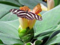 尼亚加拉斑马在花的Longwing蝴蝶2016年 免版税图库摄影