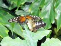 尼亚加拉Hypolimnas misippus蝴蝶2016年 库存照片