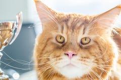 尼斯红色缅因树狸猫画象与奖杯的冠军的第一个地方的 图库摄影