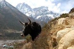 尼泊尔牦牛 免版税库存图片