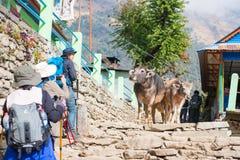 尼泊尔- 2016年12月25日: :水牛步行下来在与t的楼梯 库存图片