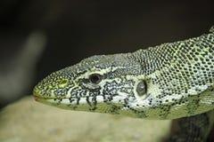 尼罗与延长的脖子的监控蜥蜴 免版税库存照片