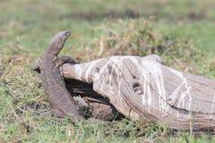 尼罗在注册非洲的监控蜥蜴 免版税库存图片
