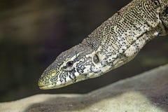 尼罗监控蜥蜴延伸的脖子 免版税图库摄影