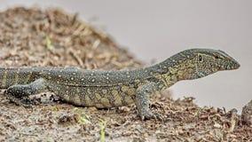 尼罗监控蜥蜴是监控蜥蜴的一个大种类 这是最大和那个最普遍的蜥蜴在非洲 免版税图库摄影