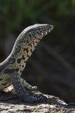 尼罗监控蜥蜴(巨晰属niloticus)南非 免版税库存照片