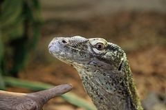 尼罗监控蜥蜴 免版税库存照片