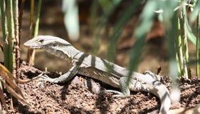 尼罗监控蜥蜴介于中间的芦苇 库存图片