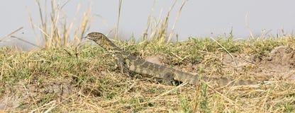 尼罗监控蜥蜴在非洲 库存图片