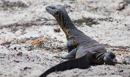 尼罗监控蜥蜴 免版税库存图片