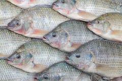 尼罗罗非鱼 库存图片