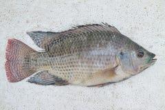 尼罗罗非鱼 免版税库存照片