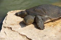 尼罗轰击了软的trionyx triunguis乌龟 免版税图库摄影