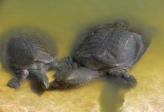尼罗轰击了软的trionyx triunguis乌龟 免版税库存图片