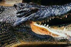 尼罗鳄鱼在水、鳄鱼头的特写镜头细节有开放嘴的和嘴的湾鳄niloticus 鳄鱼头 免版税库存照片