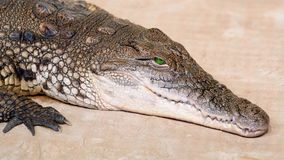 尼罗鳄鱼张开他的眼睛 影视素材