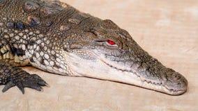 尼罗鳄鱼张开他血淋淋的红色眼睛 股票录像