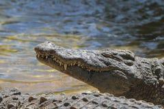 尼罗鳄鱼或共同的鳄鱼 库存照片