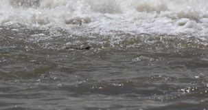 尼罗鳄鱼游泳 股票视频