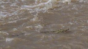 尼罗鳄鱼游泳 免版税库存图片