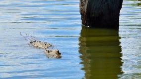 年轻尼罗鳄鱼游泳 免版税库存图片