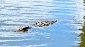 年轻尼罗鳄鱼游泳 库存图片