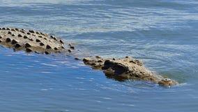 年轻尼罗鳄鱼游泳 免版税图库摄影