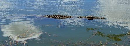 年轻尼罗鳄鱼游泳 免版税库存照片