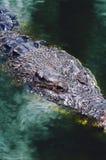 尼罗鳄鱼湾鳄niloticus在水中,鳄鱼头的特写镜头细节有开放眼睛的 鳄鱼头关闭 图库摄影