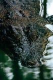 尼罗鳄鱼湾鳄niloticus在水中,鳄鱼头的特写镜头细节有开放眼睛的 鳄鱼头关闭 库存照片