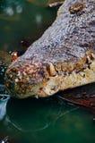 尼罗鳄鱼湾鳄niloticus在水中,鳄鱼头的特写镜头细节有开放眼睛的 鳄鱼头关闭 免版税图库摄影
