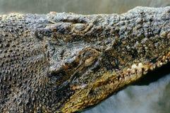 尼罗鳄鱼湾鳄niloticus在水中,鳄鱼头的特写镜头细节有开放眼睛的 鳄鱼头关闭 免版税库存图片