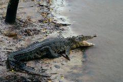 尼罗鳄鱼湾鳄niloticus在水中,鳄鱼的特写镜头细节与开放眼睛的 鳄鱼头关闭在natu 免版税库存图片