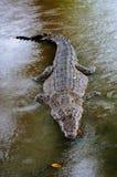 尼罗鳄鱼湾鳄niloticus在水中,鳄鱼的特写镜头细节与开放眼睛的 鳄鱼头关闭在natu 库存照片