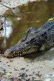 尼罗鳄鱼湾鳄niloticus在水中,鳄鱼的特写镜头细节与开放眼睛的 鳄鱼头关闭在natu 免版税库存照片