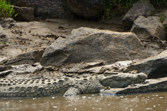 尼罗鳄鱼,马赛马拉比赛储备,肯尼亚 免版税图库摄影