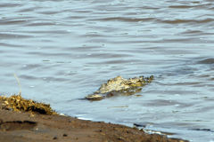 尼罗鳄鱼,马赛马拉比赛储备,肯尼亚 免版税库存图片