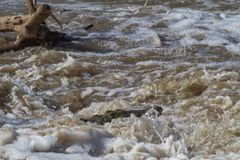尼罗鳄鱼 埋伏在水中 塞伦盖蒂,非洲 库存图片