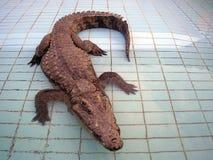 尼罗鳄鱼 免版税库存照片